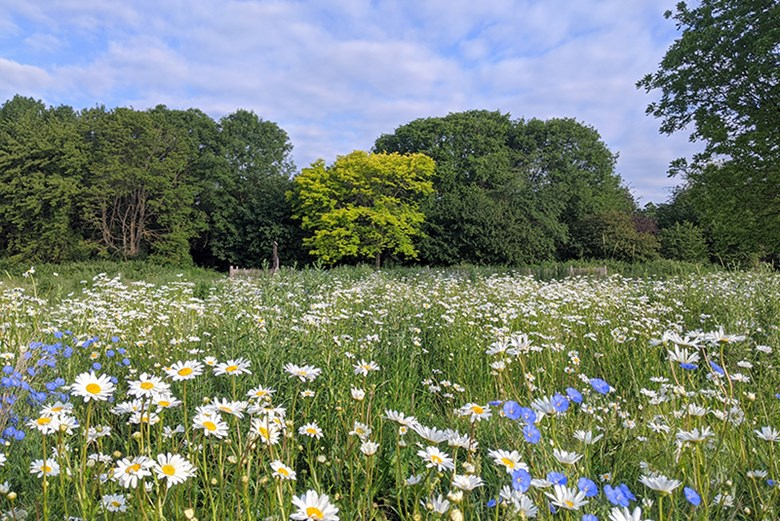corn flower meadow